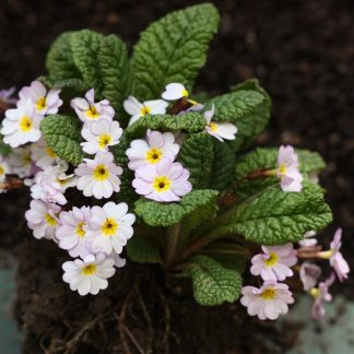 Primula juliana
