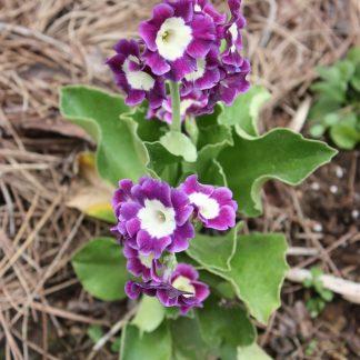 Primula pubescens
