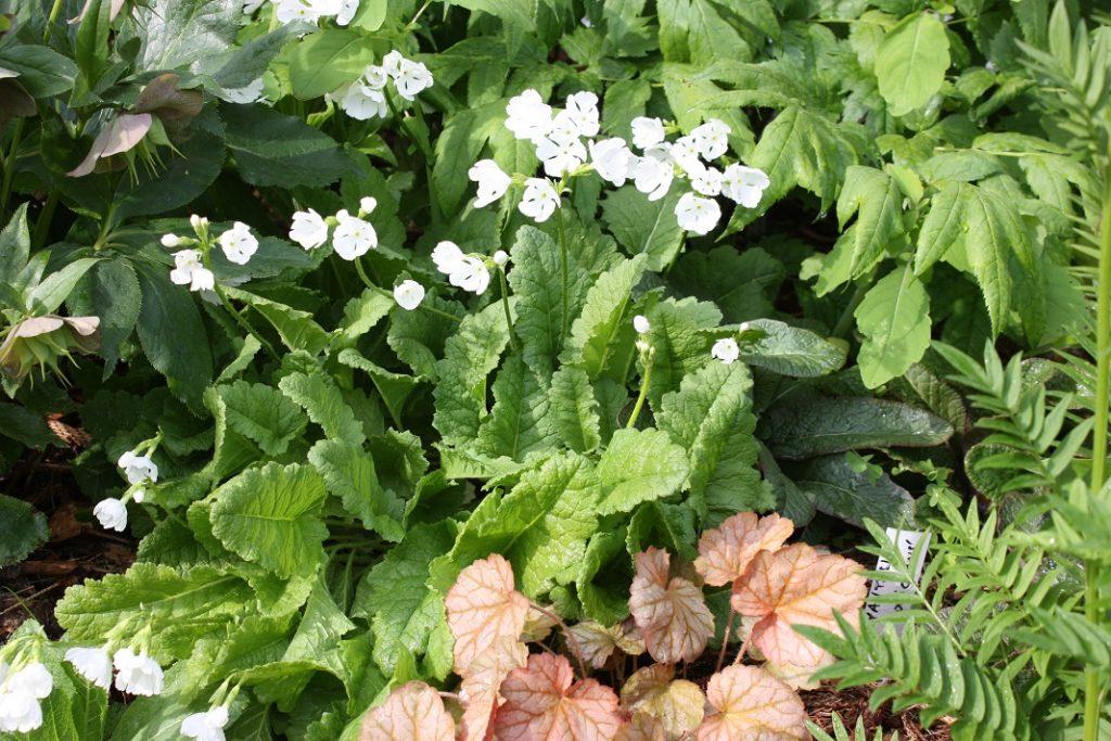 Primula sieboldii blanche ronde (19/06/2016)