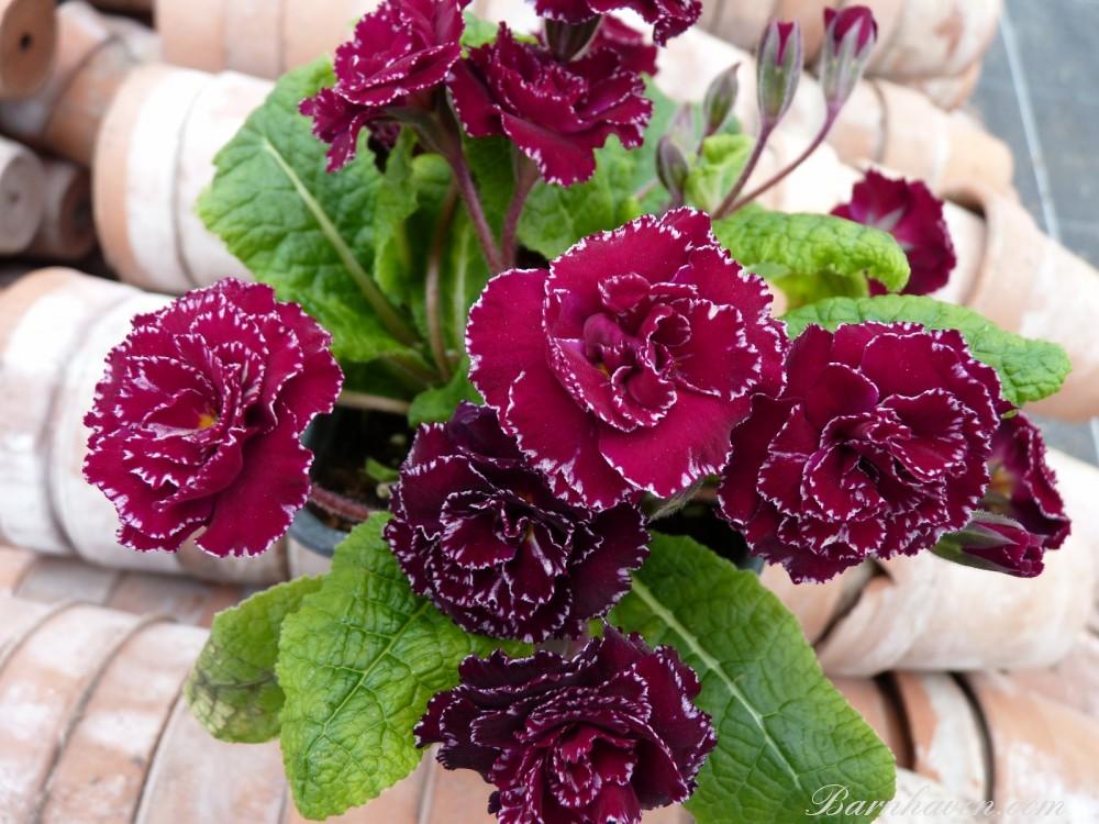 Primula double 'Trégor Rose'